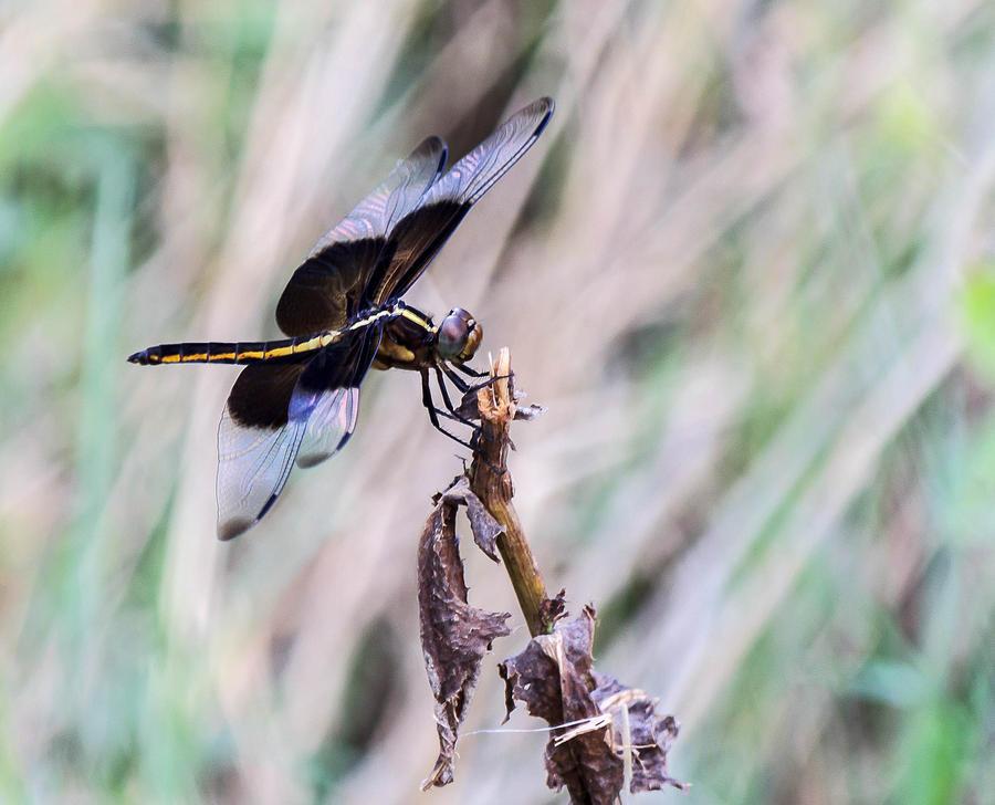Dragonflies Photograph - Cool Blue by Dennis Wells