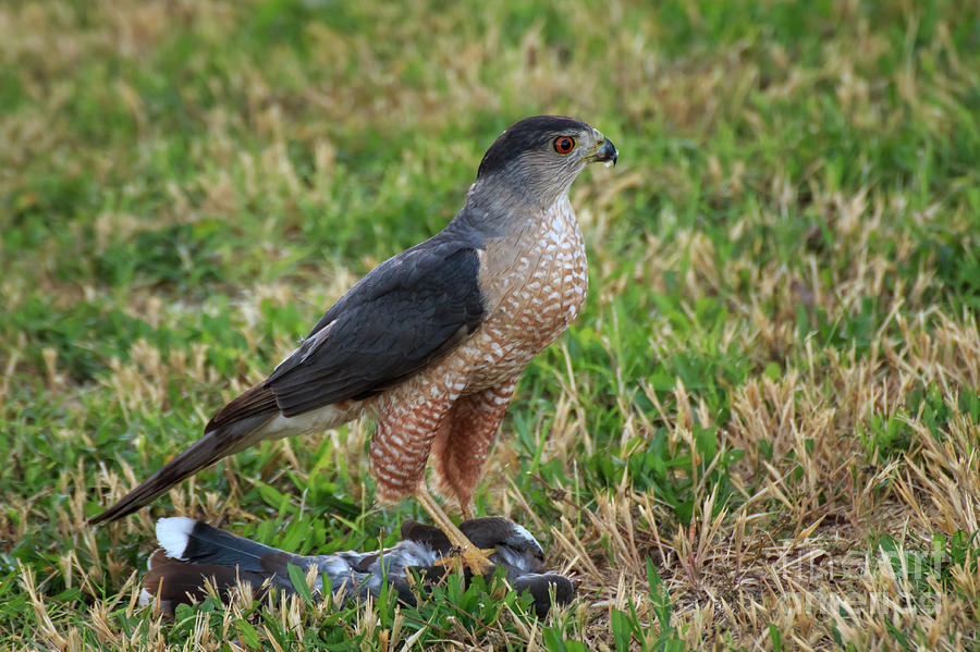 Cooper's Hawk  #3 by Richard Smith