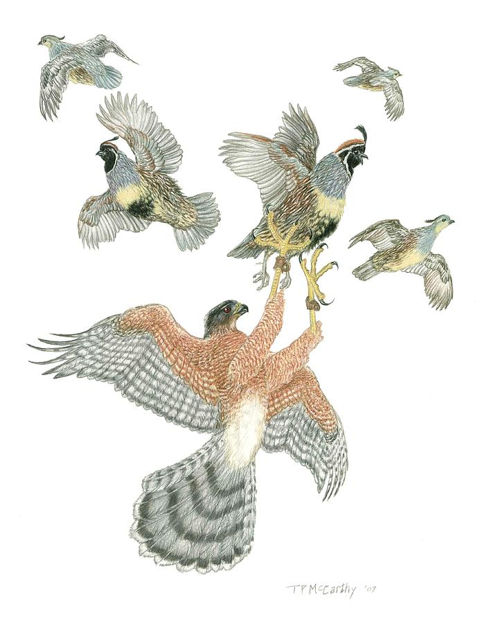 Coopers Hawk Drawing - Coopers Hawk And Gambels Quail by Tim McCarthy