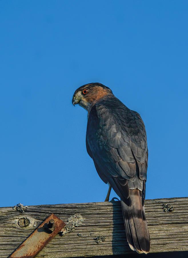 Jai Johnson Photograph - Coopers Hawk At Sunset 122620151531 by WildBird Photographs
