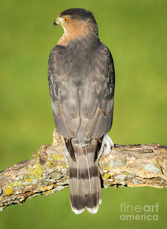 Canon Photograph - Coopers Hawk in the Backyard by Ricky L Jones