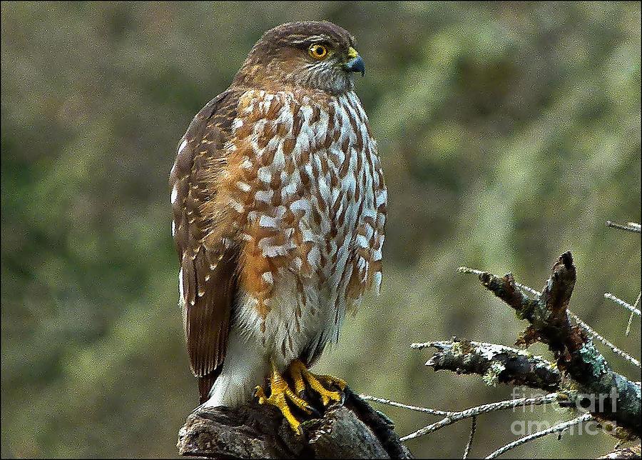 Coopers Hawk by Julia Hassett