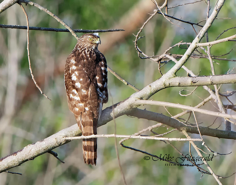 Coopers Hawk by Mike Fitzgerald