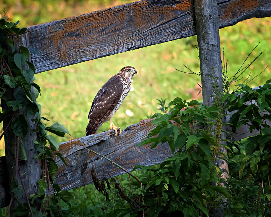 Hawk Photograph - Coopers Hawk Perched On A Weathered Fence by Al  Mueller