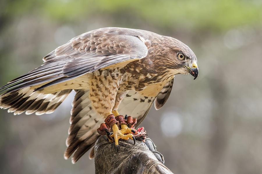 Cooper's Hawk by Serena Vachon
