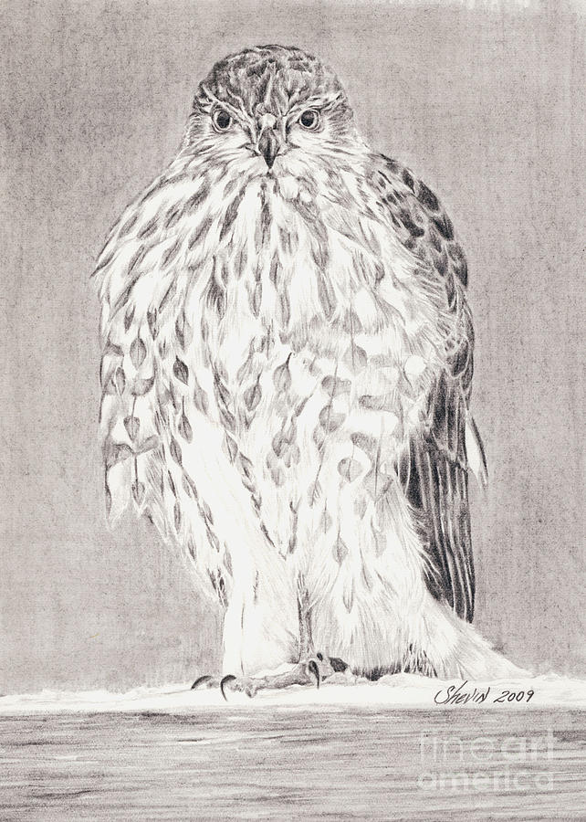 Hawk Drawing - Coopers Hawk by Shevin Childers
