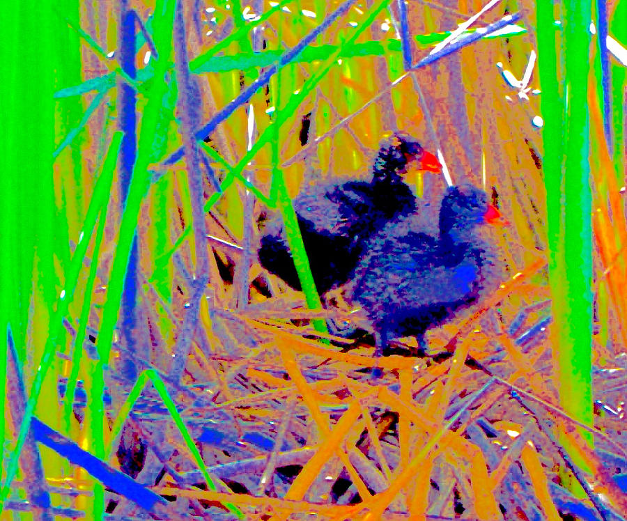 Coots On Their Nest Photograph