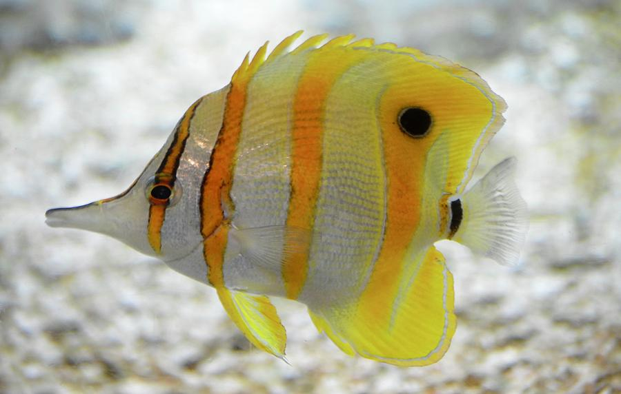 Copper Banded Butterfly Fish Photograph by Richard Bryce and Family
