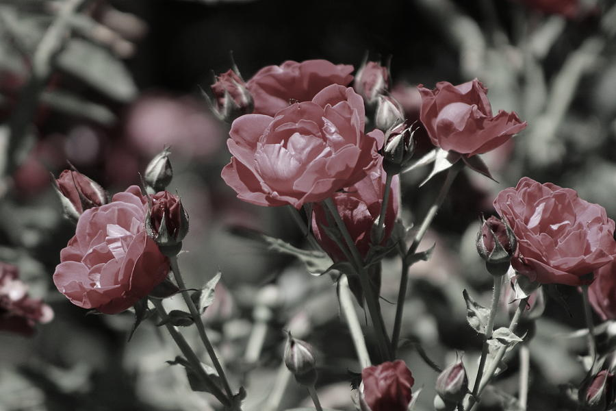 Rouge Photograph - Copper Rouge Rose in Almost Black and White by Colleen Cornelius