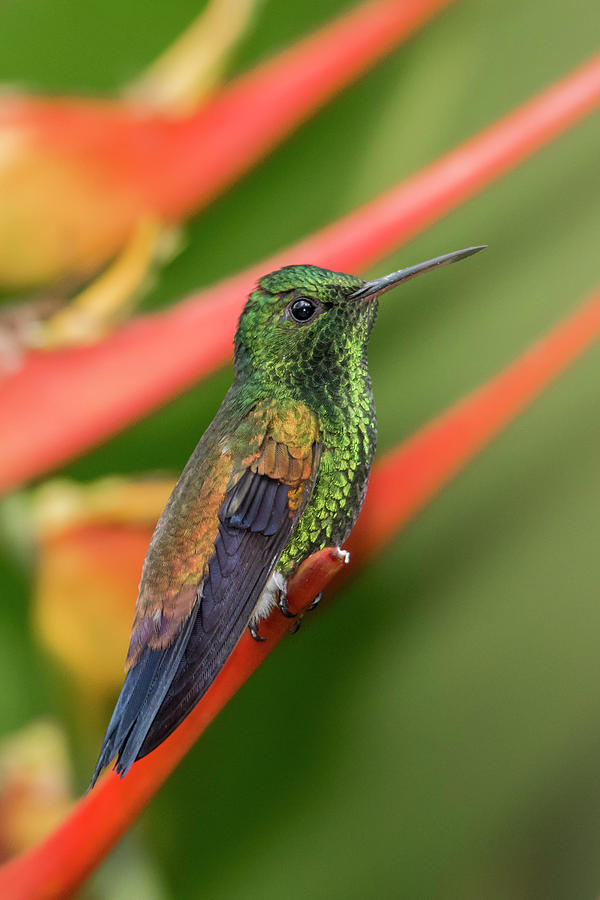 Trinidad Photograph - Copper Rumped Hummingbird by Rachel Lee Young