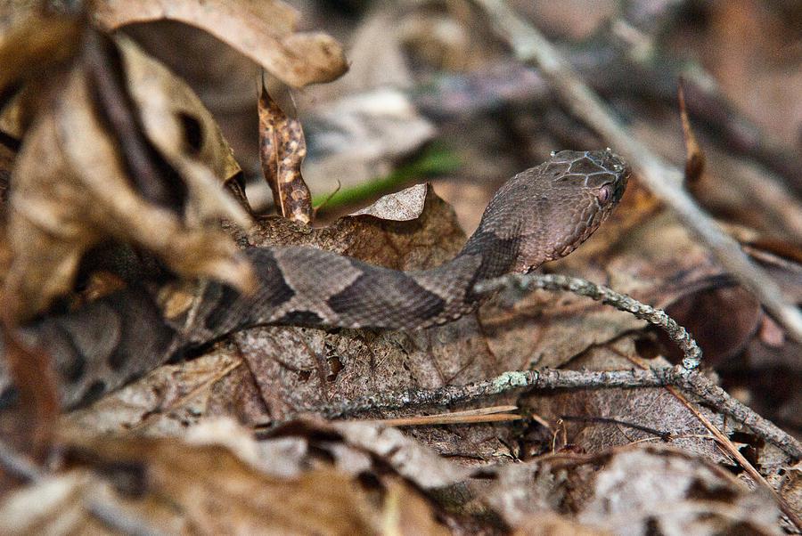 Arkansas Photograph - Copperhead 4 by Douglas Barnett