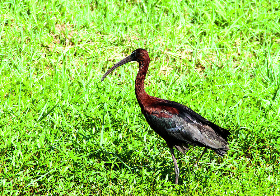 Glossy Ibis Photograph - Coppery Ibis by Norman Johnson
