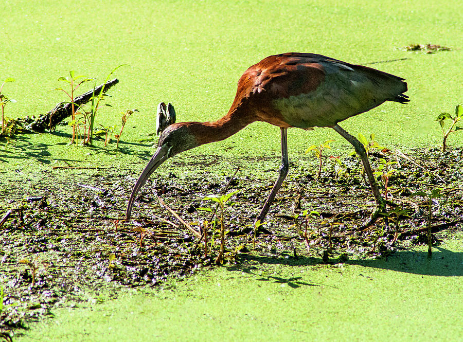 Glossy Ibis Photograph - Coppery Sheen by Norman Johnson