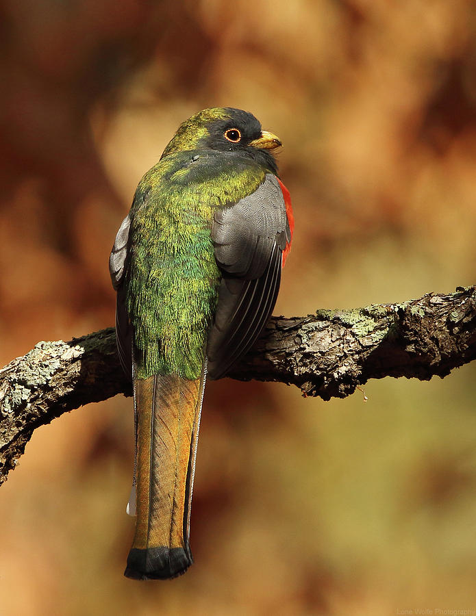 A Coppery-tailed Elegant Trogon by Steve Wolfe