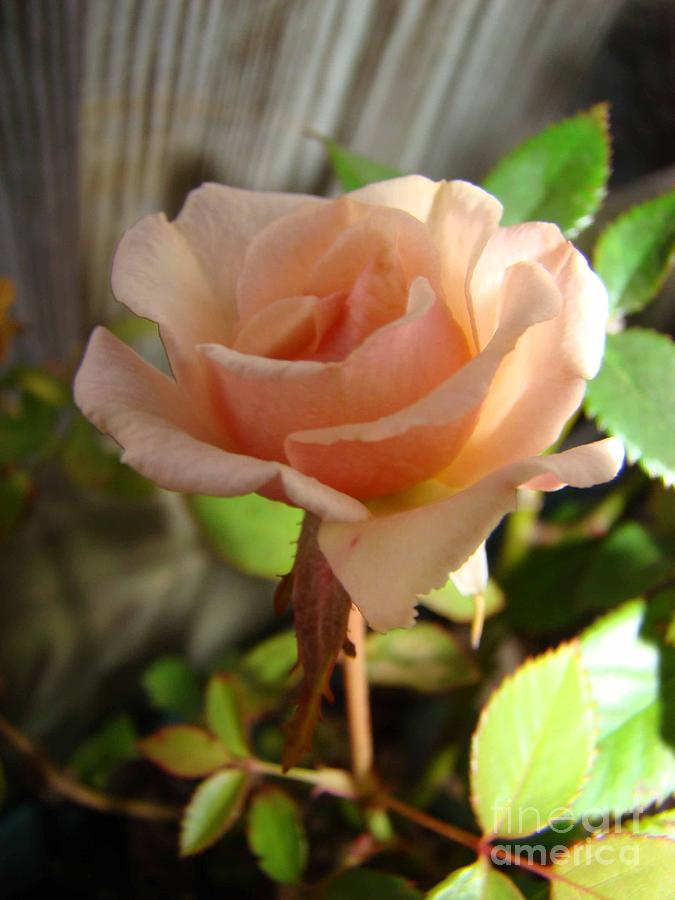 Rose Photograph - Coral Colored Rose by Sherry Vance