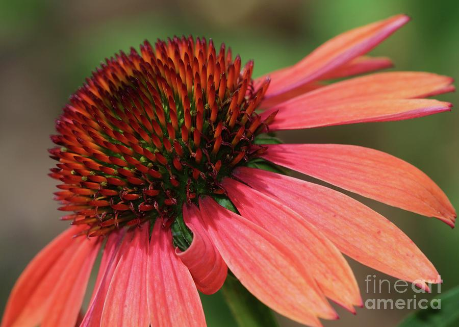Flower Photograph - Coral Cone Flower by Sabrina L Ryan