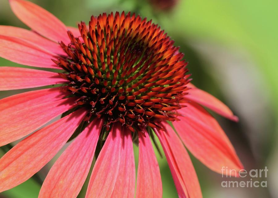 Flower Photograph - Coral Cone Flower Too by Sabrina L Ryan