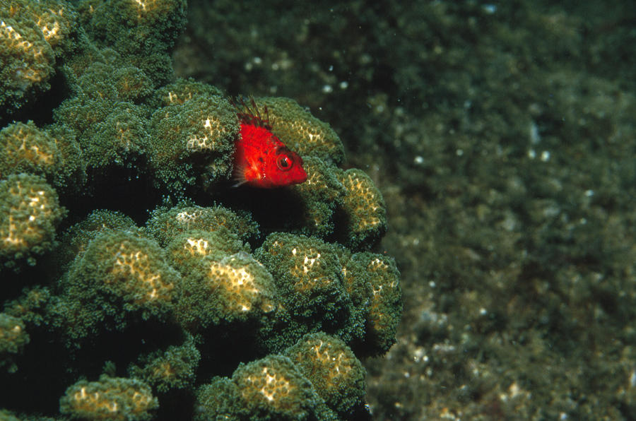 Sea Of Cortez Photograph - Coral Hawkfish Hiding In Coral by James Forte