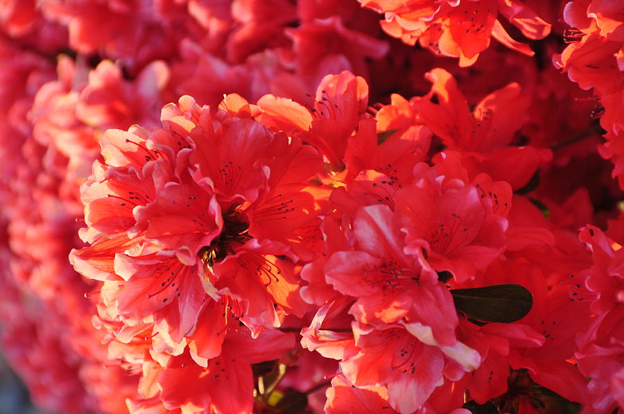 Floral Photograph - Coral Pink Azaleas by Jan Amiss Photography