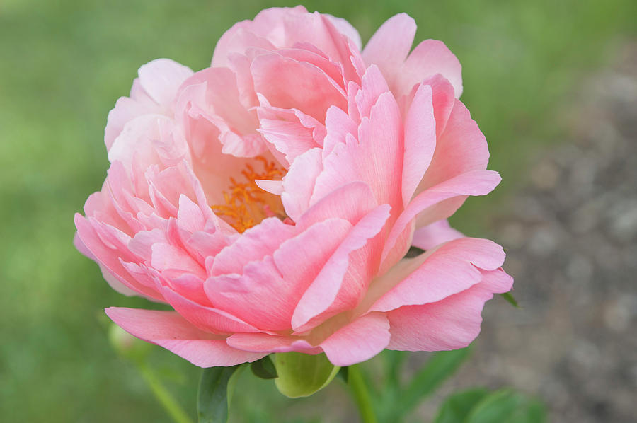Coral Sunset Open Heart Beauty Of Peony Flowers Photograph By