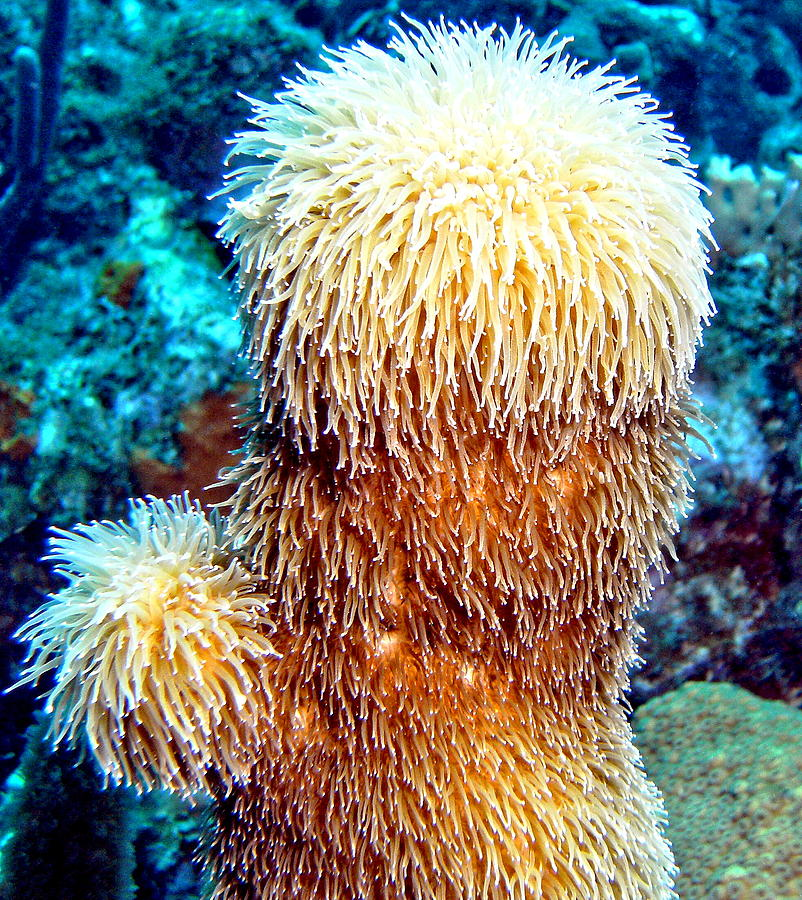 Nature Photograph - Corky Sea Finger Coral - The Muppet Of The Deep by Amy McDaniel