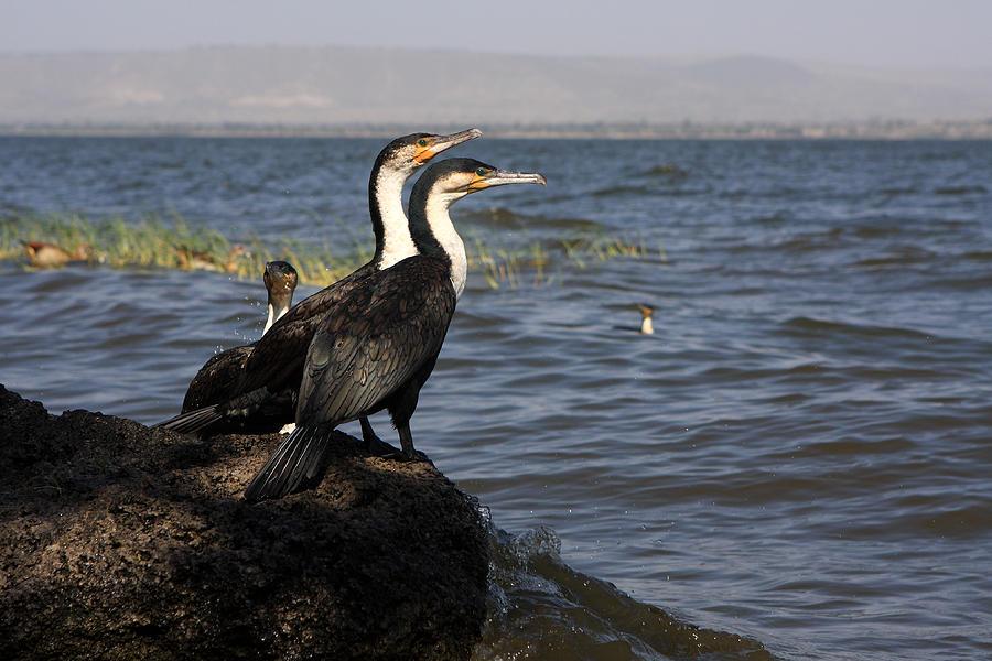 Cormorant Photograph - Great Rift Cormorants by Aidan Moran