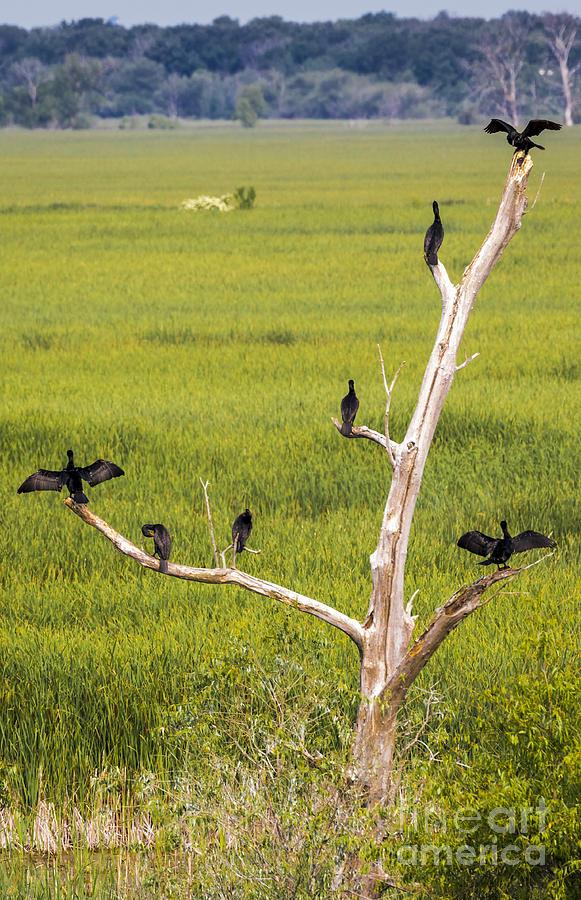 Canon Photograph - Cormorant at Horicon Marsh by Ricky L Jones