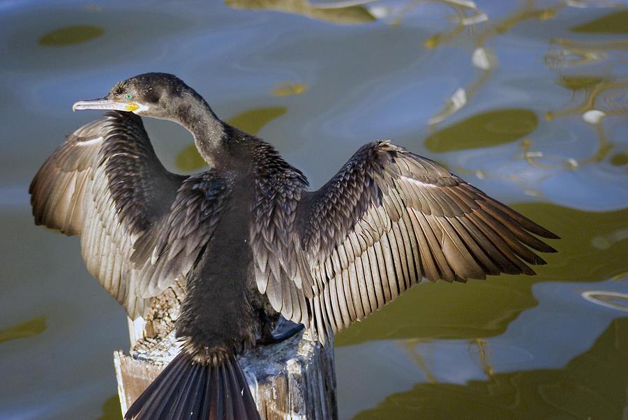 Neotropic Cormorant Photograph - Cormorant looking back by Robert Brown