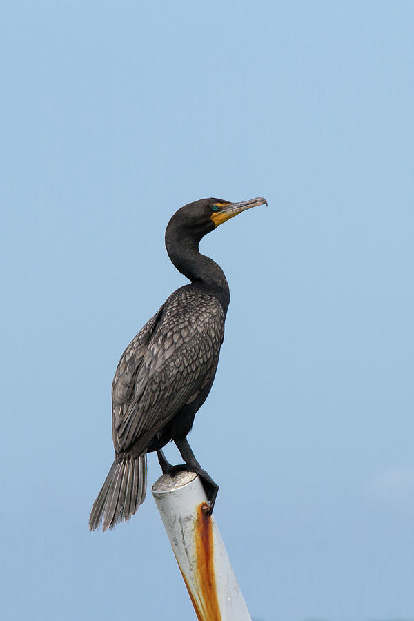 Cormorant Post Photograph