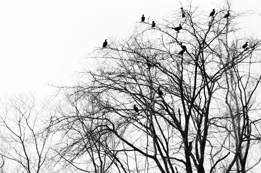 Nature Photograph - Cormorants by Ed Lumbert