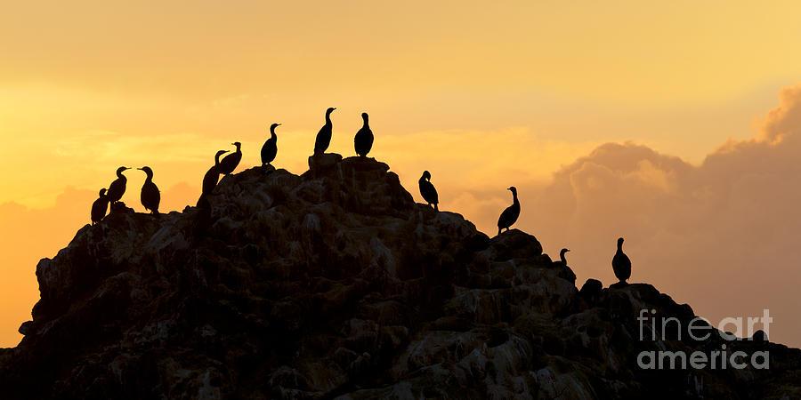Cormorants Photograph - Cormorants On A Rock With Golden Sunset Sky by Sharon Foelz