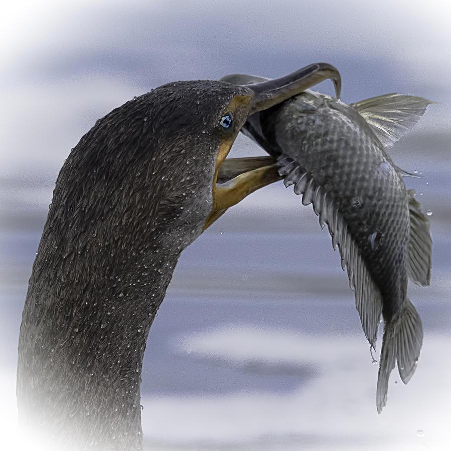 Bird Photograph - Cormorants Whopper Dive Catch by Leslie Reagan -  Joy To The Wild Photos