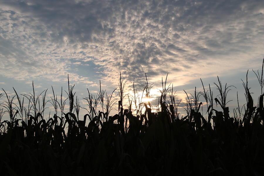 Sunrise Photograph - Corn At Sunrise by Paula Anderson