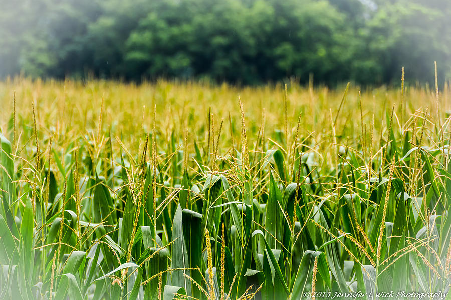 Corn Field Photograph