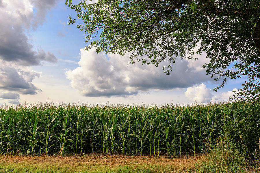 Corn Field on a Cloudy Day by Joni Eskridge