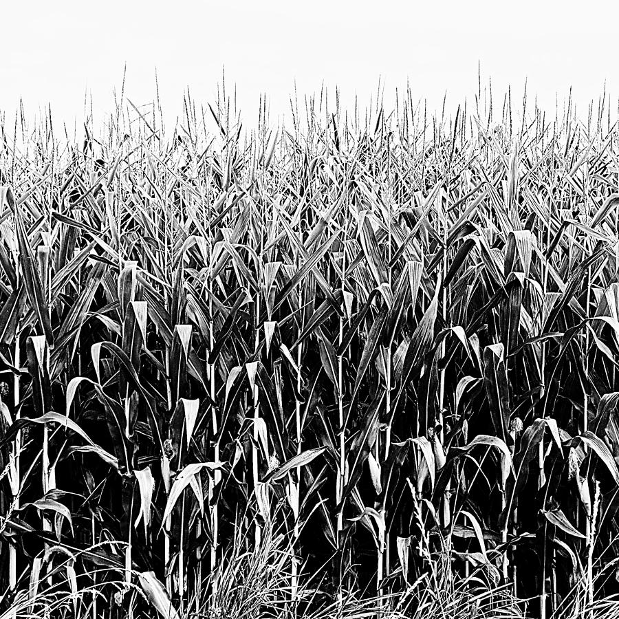 Corn Field by Treble Stigen