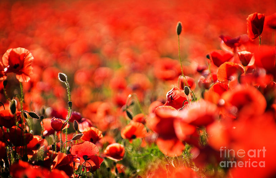 Beautiful Photograph - Corn Poppies by Meirion Matthias