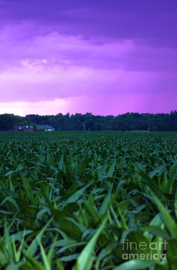 Purple Rain Photograph - Cornfield Landscapes Purple Rain by Cathy  Beharriell