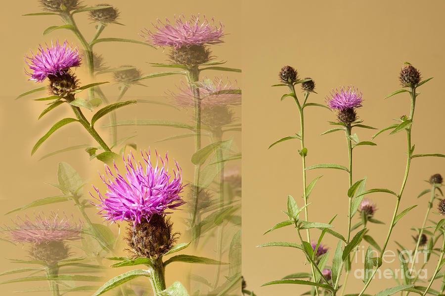 Collage Photograph - Cornflower Collage by Donald Davis