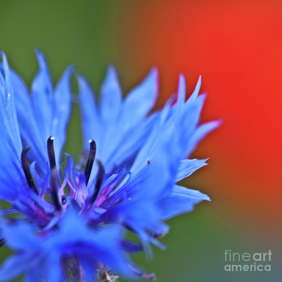 Cornflower Photograph - Cornflower by Heiko Koehrer-Wagner