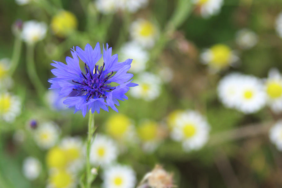 Cornflower Photograph - Cornflower by Tony Serzin