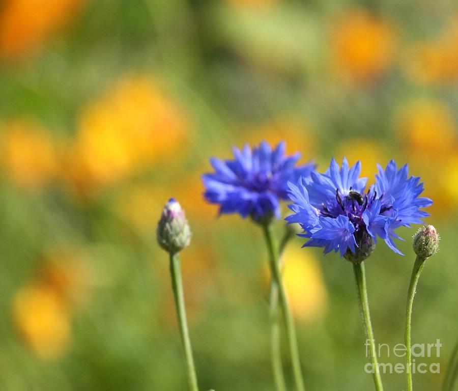 3d Photograph - Cornflowers -1- by Issabild -