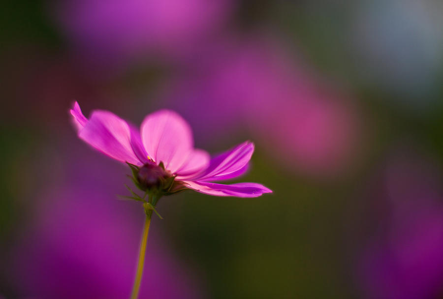 Cosmo Photograph - Cosmo Impression by Mike Reid