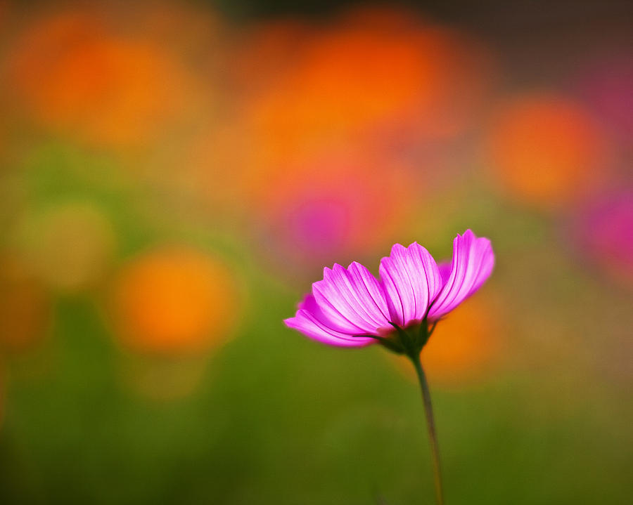 Cosmo Photograph - Cosmo Pastels by Mike Reid