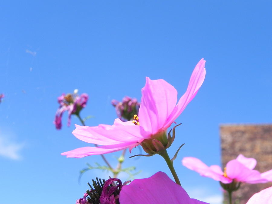 Cosmos Photograph - Cosmos by Adrienne Petterson