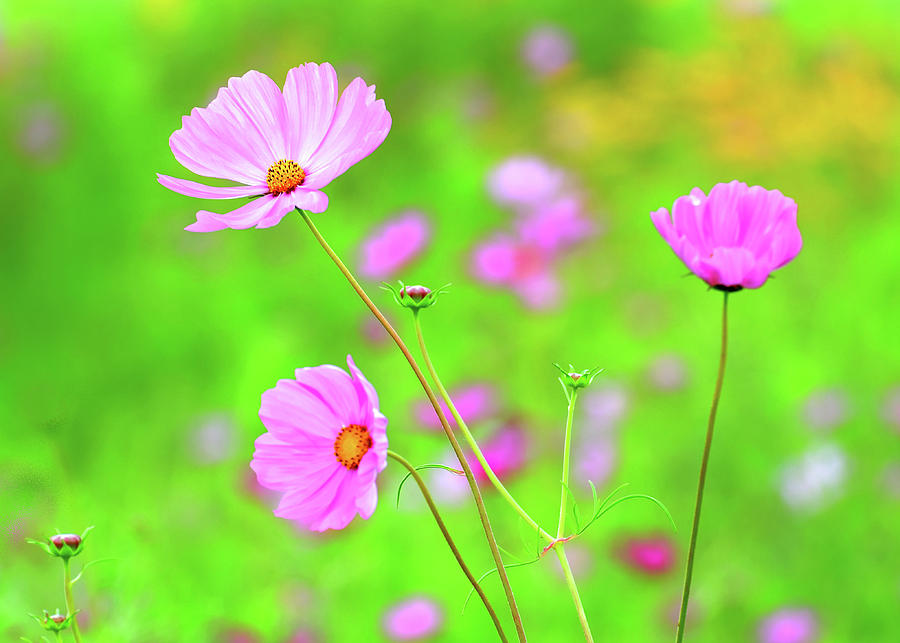 Cosmos Blooming in a Meadow by Rodney Campbell