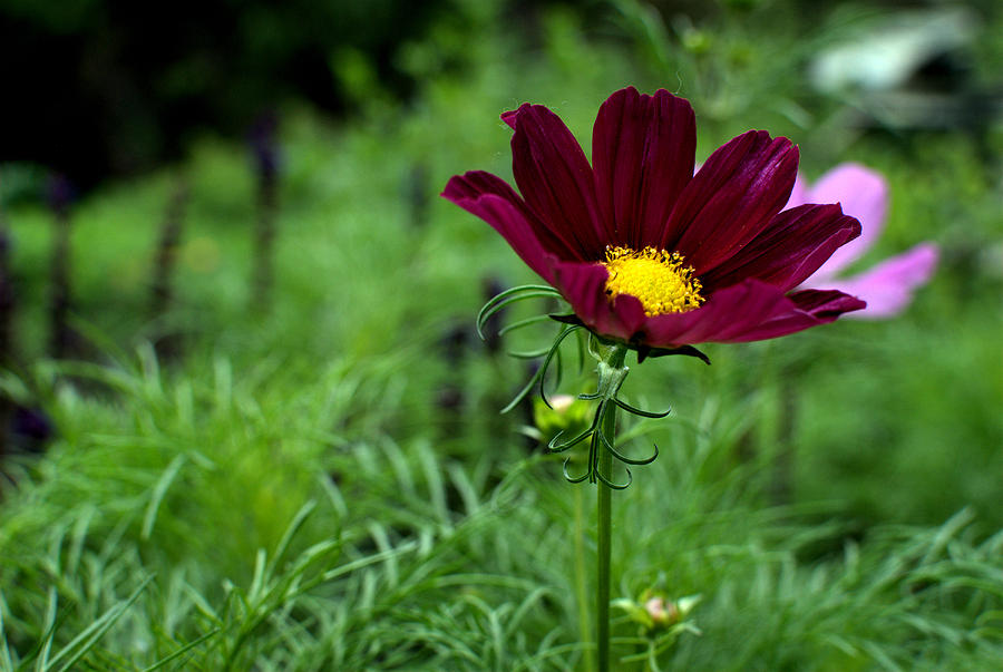 Cosmos Photograph - Cosmos by Chris Giese