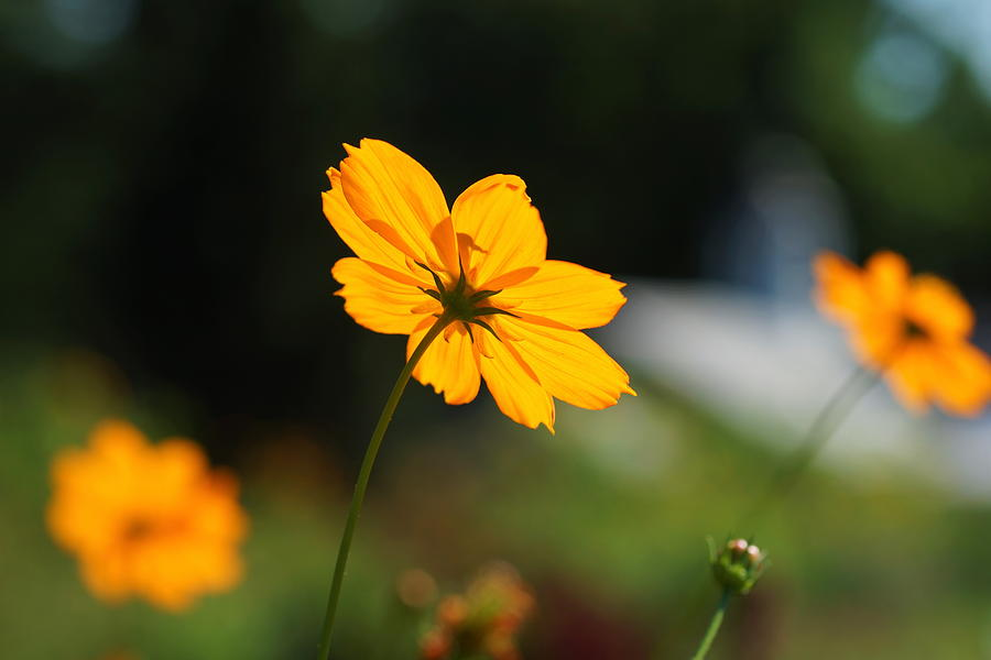 Cosmos Photograph - Cosmos Field by Carrie Goeringer