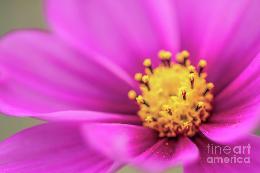 Cosmos Pink Sensation Photograph