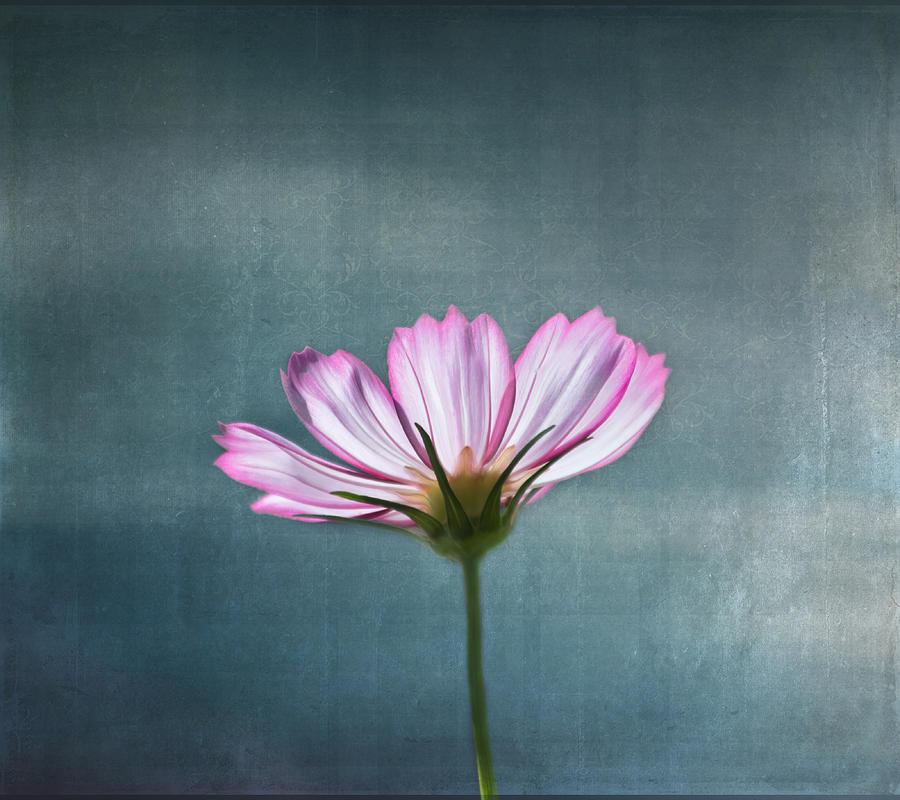 Flower Photograph - Cosmos - Summer Love by Kim Hojnacki
